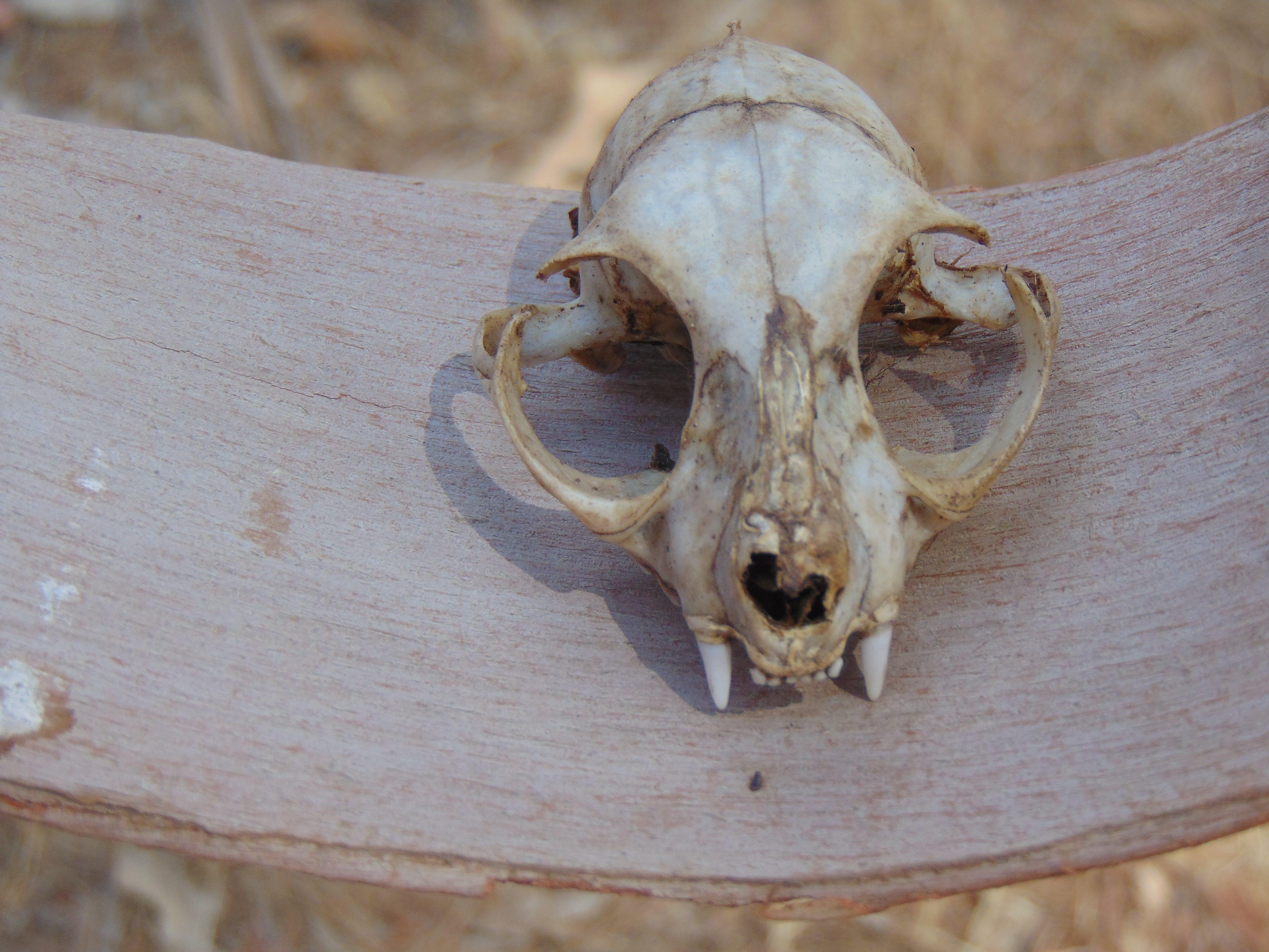 Free stock photo of #naturaleza, #skull #osamenta, #vestige