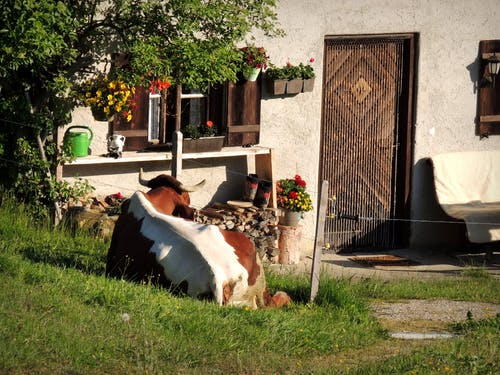 Free stock photo of Alpen, ausschau halten, braune kuh, Hutte