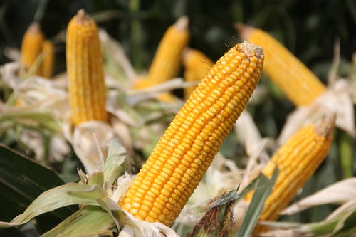 A Close-up Shot of a Yellow Corn in the Farm