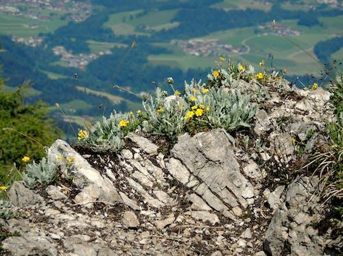 Free stock photo of bergfelsen, berggipfel, wildblumen