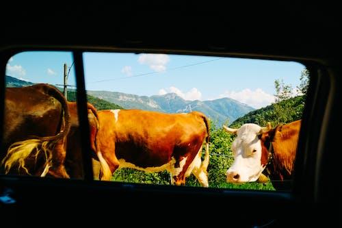 Δωρεάν στοκ φωτογραφιών με αγελάδα, αγρόκτημα, αγροτικός, βόδια