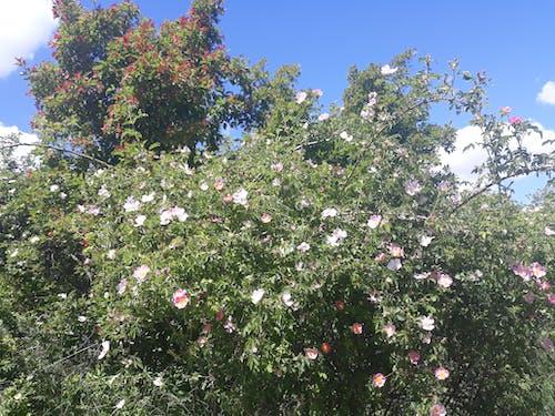 Free stock photo of blooming bush, blooming tree, spring