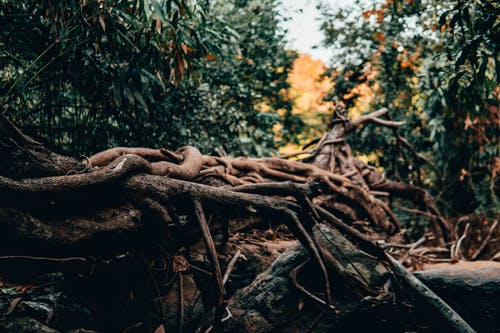 Free stock photo of forest, roots, wild