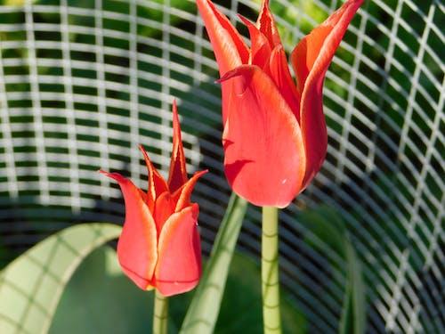 Fotobanka sbezplatnými fotkami na tému červené tulipány, mágia