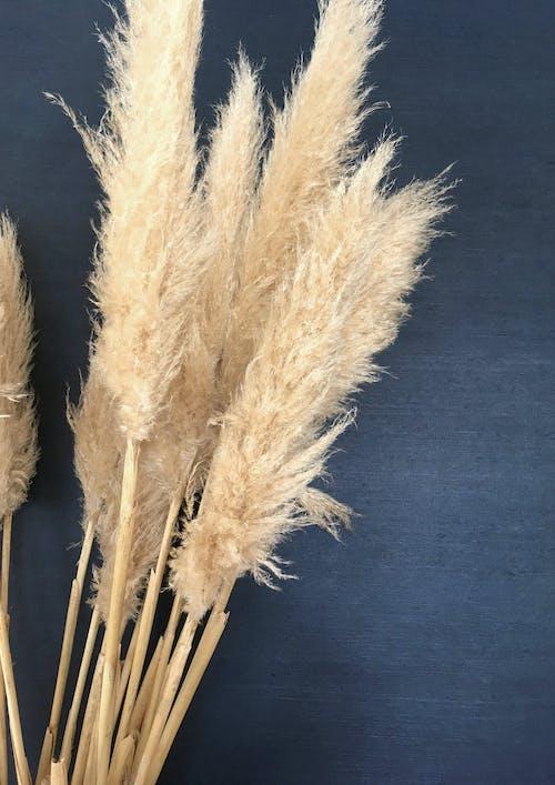 Gratis arkivbilde med cortaderia, cortaderia selloana, pampas, pampas gress