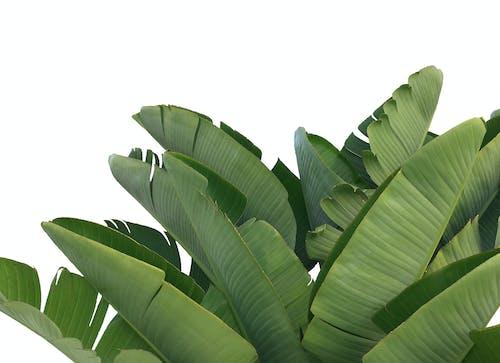 Gratis arkivbilde med atskilt, banan, bananblad, bananblader