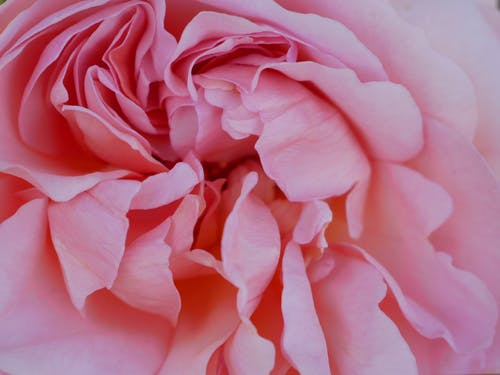 Closeup of fresh bright aromatic peony blossom with soft pink petals in daytime
