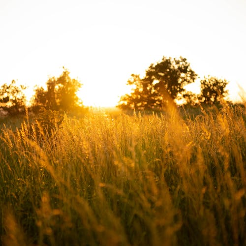 Golden grass and trees on lawn under white shiny sky in evening in rural area