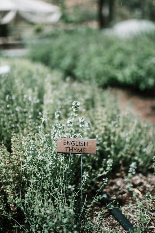 Ingyenes stockfotó aromás, aromaterápiás, cserje témában