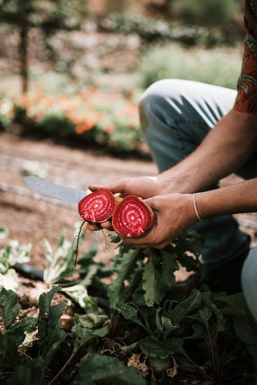 Ingyenes stockfotó álló kép, bioélelmiszerek, cékla témában