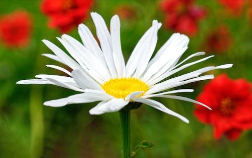 Gratis lagerfoto af blomst, close-up, marguerit, nærbillede