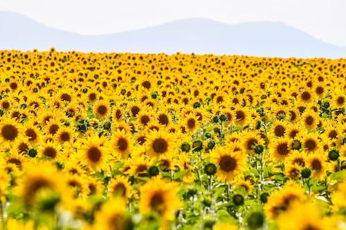 Yellow Sunflower Field Under White Sky