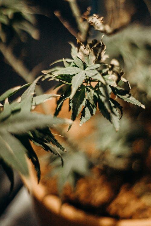 Základová fotografie zdarma na téma bylinka, bylinky, flóra, kanabinoid