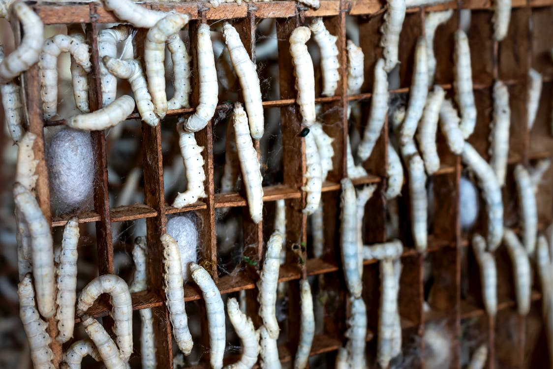 Larvae of exotic domestic silk moth and white cocoons in wooden tray in farm
