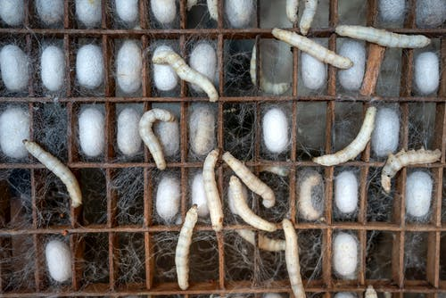 Gratis arkivbilde med biologi, boks, bombyx mori