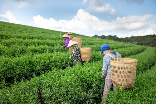 Side view of unrecognizable farmers with wicker baskets in straw Vietnamese hats picking green tea leaves during work in plantation