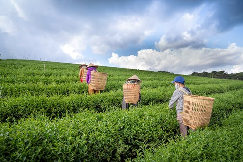 Unrecognizable people working on tea fields during harvesting season