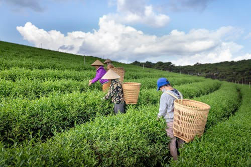 Side view of unrecognizable people in straw hats and big baskets collecting tea leaves on lush plantation during harvesting season on sunny day