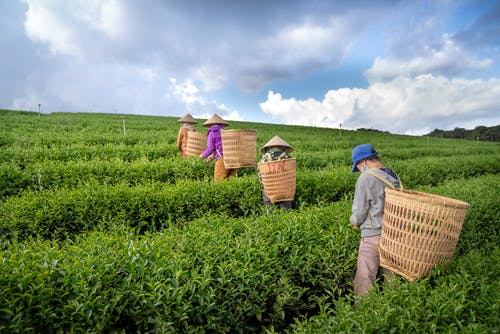 Back view of anonymous people in hats with harvest baskets walking on tea plantation and picking fresh green leaves