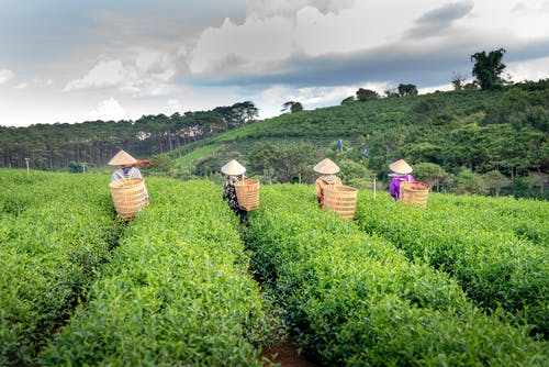 Back view of faceless farmers in Vietnamese hats carrying straw bags while working on tea plantation during harvesting season