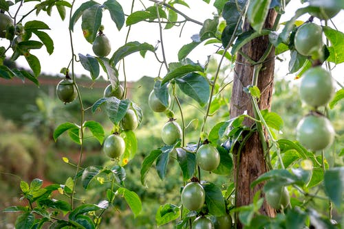 Green passion fruits hanging on tree