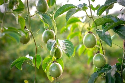 Fruits of exotic Passiflora edulis growing in garden