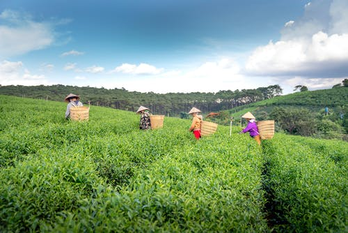 Anonymous people in straw hats collecting green tea leaves into harvest baskets on plantation
