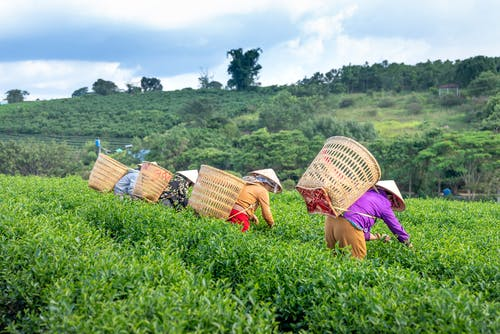 Unrecognizable local workers harvesting tea leaves in field