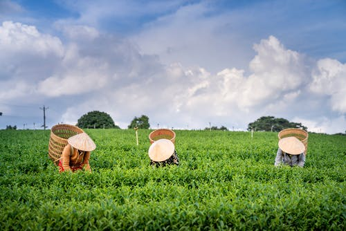 Faceless farmers in straw hats picking tea leaves on plantation