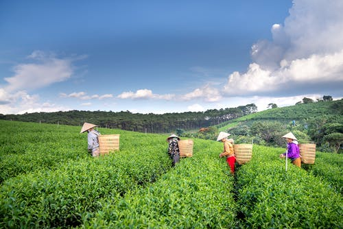 Side view of anonymous plantation workers in conical hats with straw baskets picking fresh leaves of tea against cloudy blue sky