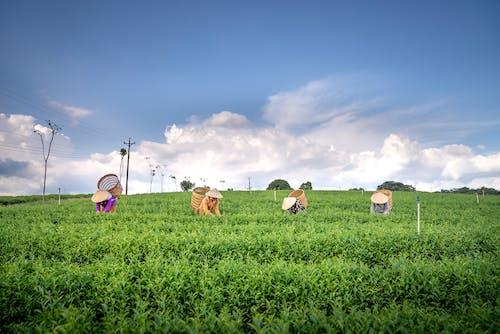 Unrecognizable plantation workers harvesting tea on farmland