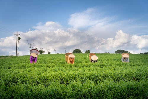 Tea harvesting process by unrecognizable farmers in conical straw hats in lush green plantation against cloudy blue sky