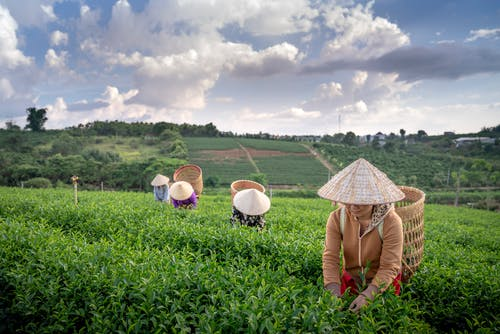 Anonymous local farmers in Asian conical hats harvesting green tea leaves on lush plantation located in highland against cloudy blue sky