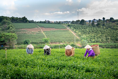Unrecognizable farm workers in casual clothes and traditional conical hats working on tea plantation during harvesting season on sunny day
