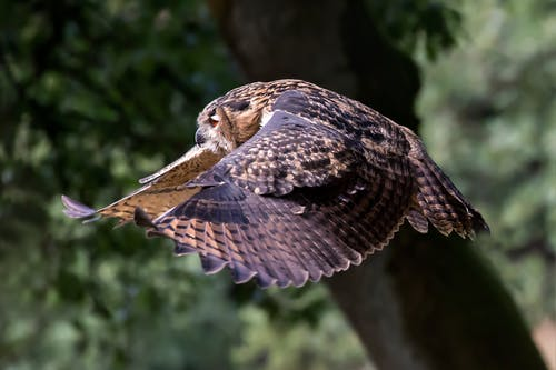 Owl flying in green forest