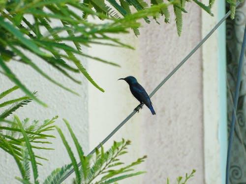 Immagine gratuita di foglie verdi, sunbird viola, uccello