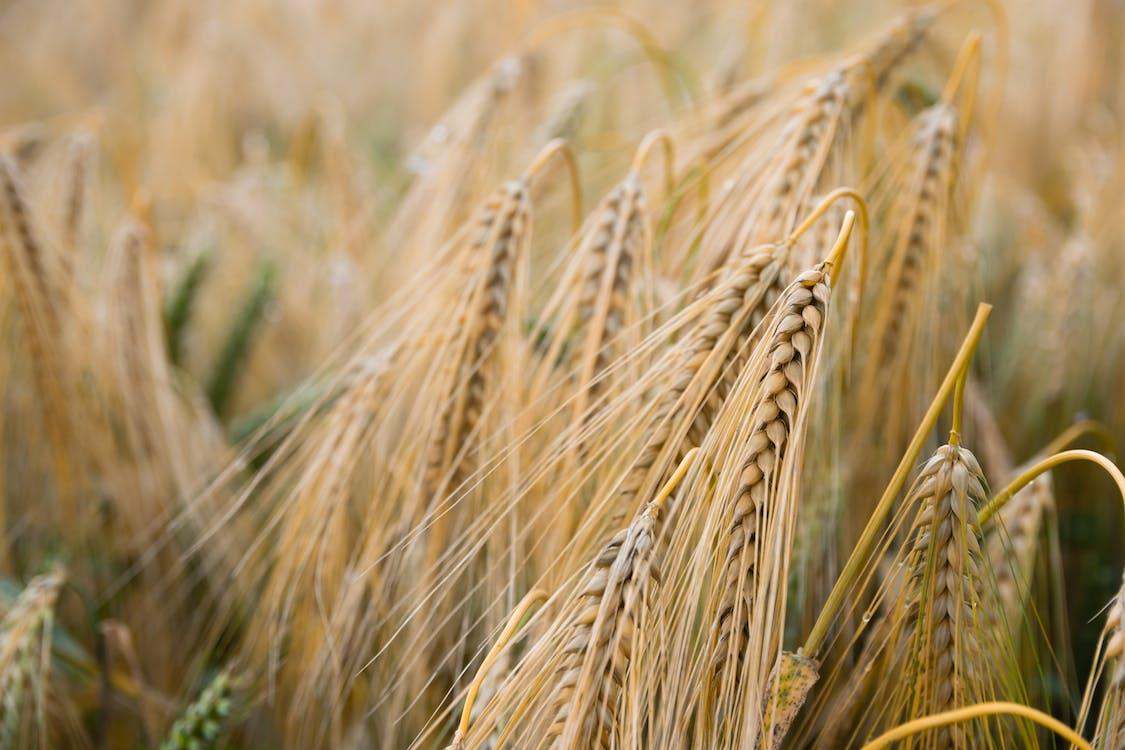 великий план, жито, жнива