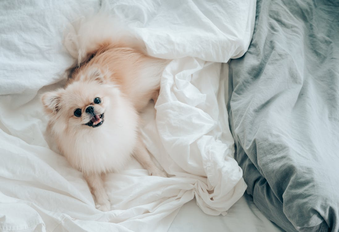 Adorable little Pomeranian dog lying in bed