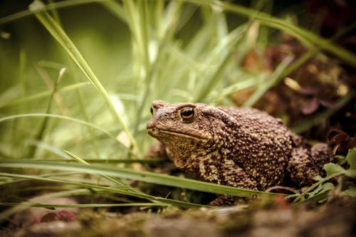 Common toad or gray toad amphibian from genus of toad around green leaves in wildlife