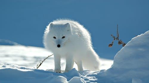 Foto d'estoc gratuïta de animal, animals bufons, blanc, blanc com la neu