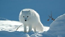 snow, animal, white