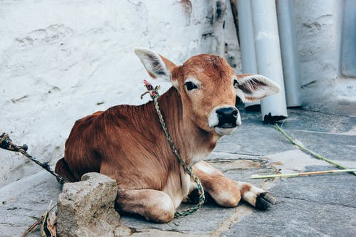 Domestic cow lying on stone ground in farm