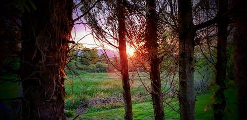 Free stock photo of Sunset thorough trees