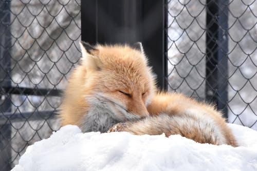 Obedient Vulpes vulpes schrencki fox sleeping on  snow