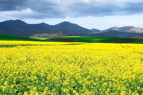 Foto profissional grátis de África do Sul, agricultura, amarelo, ao ar livre