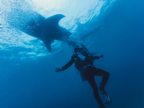 Diver in wetsuit swimming near shark underwater