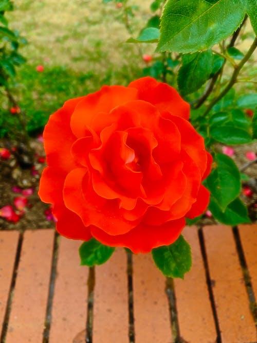 Foto profissional grátis de flor, jardim, vermelho