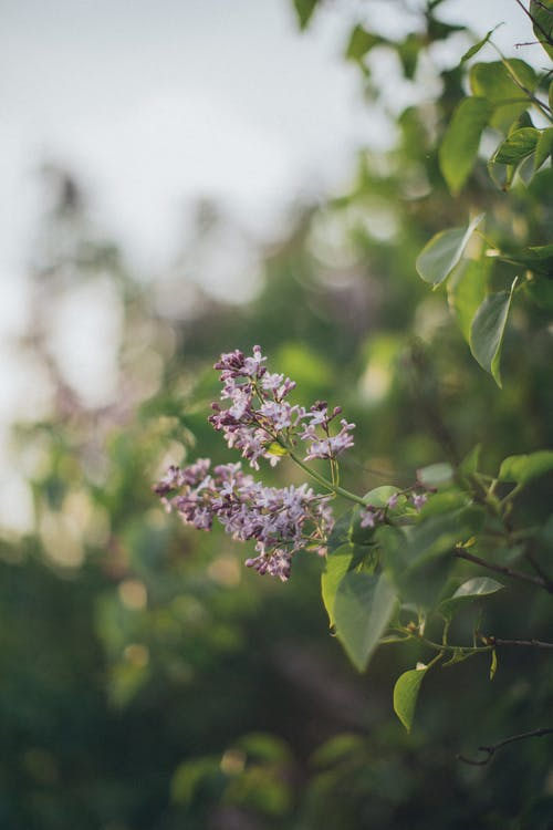 Branch of lilac in green foliage