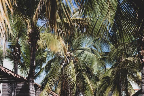 From below of green palm with lush foliage on branches growing in tropical country near cottage in summertime