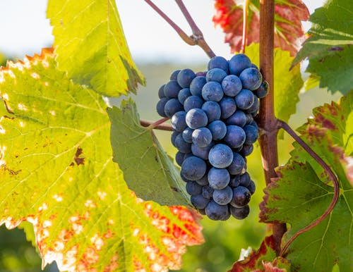 Ripe grapes growing on vine branch